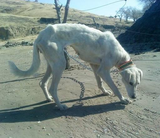 跟随成吉思汗远征欧洲的战犬——蒙古细犬 第7张