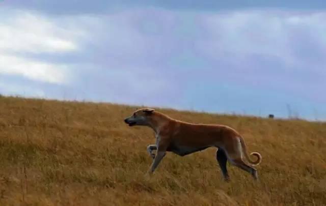 跟随成吉思汗远征欧洲的战犬——蒙古细犬 第6张