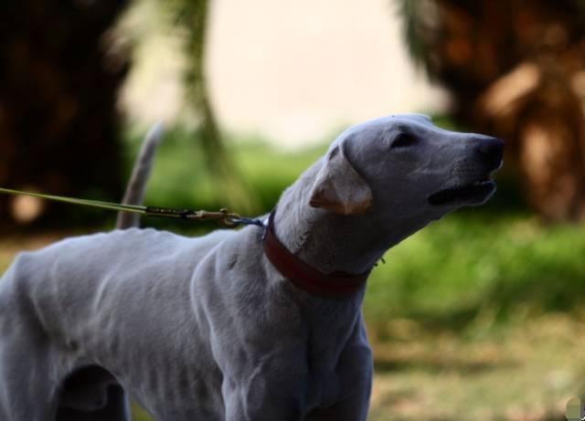 跟随成吉思汗远征欧洲的战犬——蒙古细犬 第5张