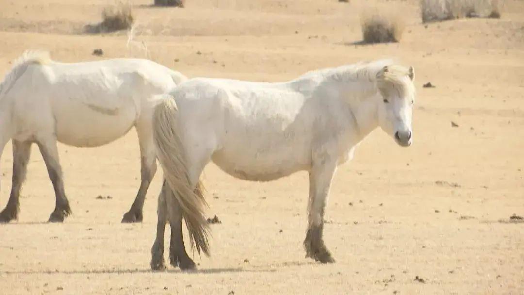 草原白马——乌珠穆沁的骄傲