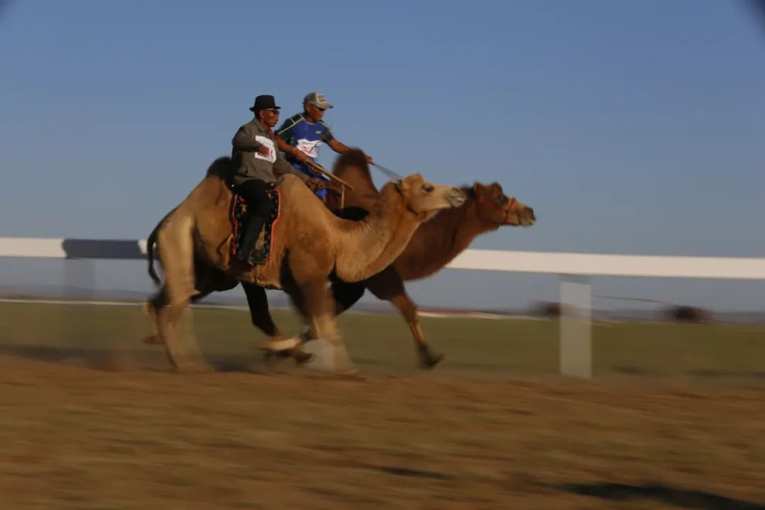 【乌拉特文化】之蒙古族赛驼 第2张